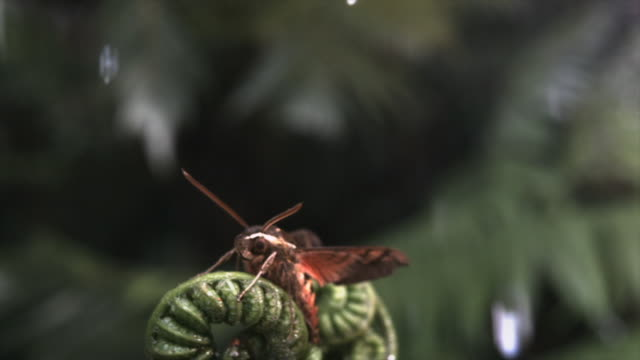 a hawk moth is blown off a curled fern frond during a rainstorm. available in hd. - frond stock videos & royalty-free footage