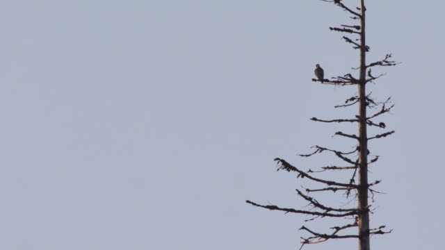 hawk on the lookout and taking off - hawk bird stock videos & royalty-free footage