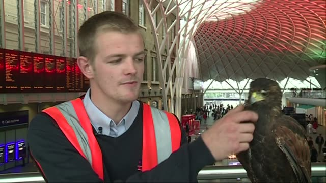 hawk scares off pigeons at king's cross station general views and handler interview max benn interview sot / general views of benn with aria along... - beruflicher umgang mit tieren stock-videos und b-roll-filmmaterial