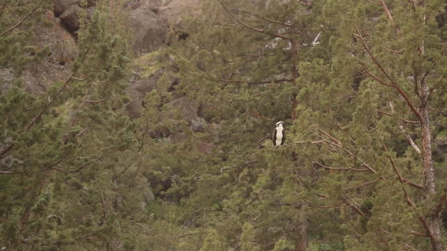 a hawk sitting on the limb of a tree branch in smith rock state park. - smith rock state park stock videos & royalty-free footage