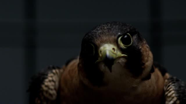vídeos y material grabado en eventos de stock de hawk - halcón