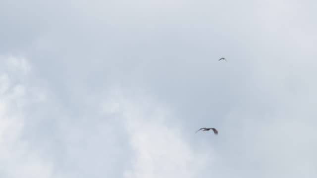 hawk vs black kite - khingan nature reserve - air raid stock videos & royalty-free footage