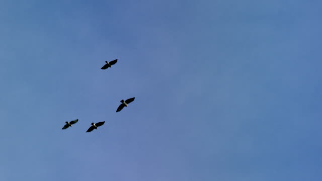 hawks flying against sky - four animals stock videos & royalty-free footage
