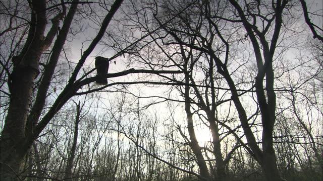 vídeos y material grabado en eventos de stock de hawks land on bare tree branches. - bare tree