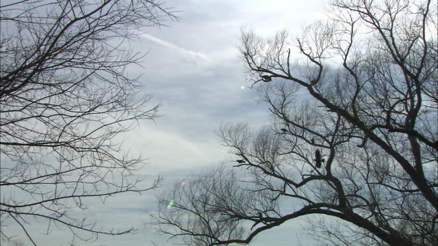 vidéos et rushes de hawks perch in a large, leafless tree. - arbre sans feuillage