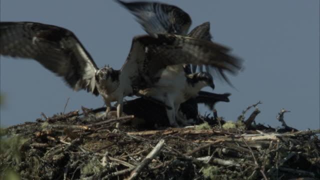 hawks squabble over prey in a high, twiggy nest. - gliedmaßen körperteile stock-videos und b-roll-filmmaterial