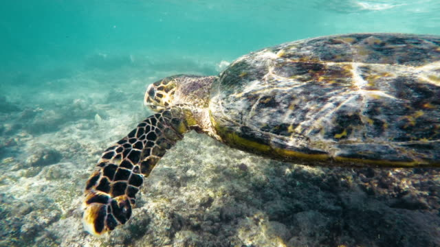hawksbill sea turtle (eretmochelys imbricata)1 - tierfarbe stock-videos und b-roll-filmmaterial