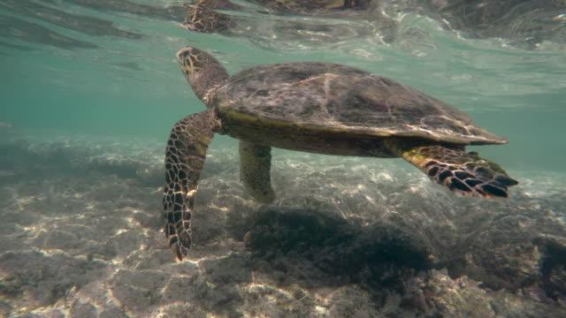 hawksbill sea turtle (eretmochelys imbricata)2 - 音声あり点の映像素材/bロール