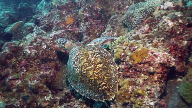 hawksbill sea turtle (eretmochelys imbricata) critically endangered species underwater - animal shell stock videos & royalty-free footage