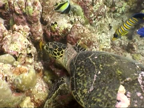 ms hawksbill sea turtle, eretmochelys imbricata, and regal angelfish, pygoplites diacanthus, foraging amongst coral, maldives - foraging stock videos and b-roll footage