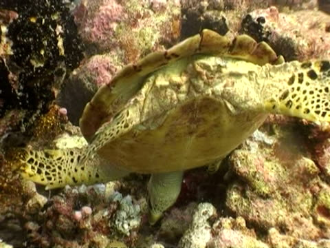 ms hawksbill sea turtle, eretmochelys imbricata, foraging amongst coral, maldives - foraging stock videos and b-roll footage