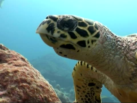 CU Hawksbill sea turtle, Eretmochelys imbricata, head and shoulders from left side over reef and turns down to feed, Maldives