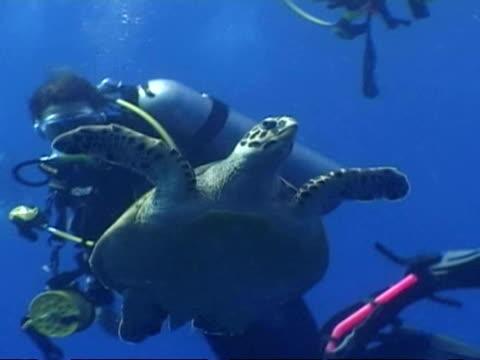 ms hawksbill sea turtle, eretmochelys imbricata, swims to surface passes divers, maldives - tauchgerät stock-videos und b-roll-filmmaterial
