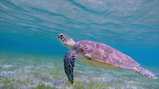hawksbill sea turtle grazing on seagrass bed / marsa alam - hawksbill turtle stock videos & royalty-free footage