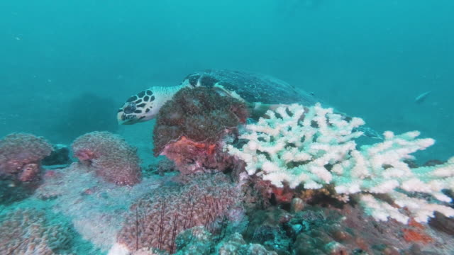 vídeos de stock e filmes b-roll de hawksbill sea turtle (eretmochelys imbricata) on underwater bleached coral reef - acidificação dos oceanos
