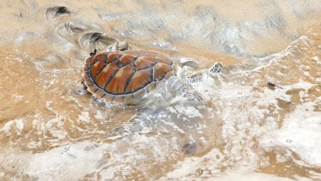 vídeos de stock e filmes b-roll de de-pente tartaruga do mar de andaman libertação para o mar na ilha de phuket - mar de andamão