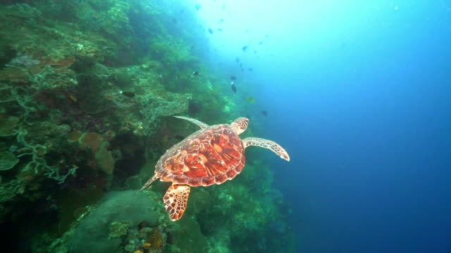 vídeos de stock, filmes e b-roll de hawksbill sea turtle swimming in the ocean (indonesia) - recife fenômeno natural