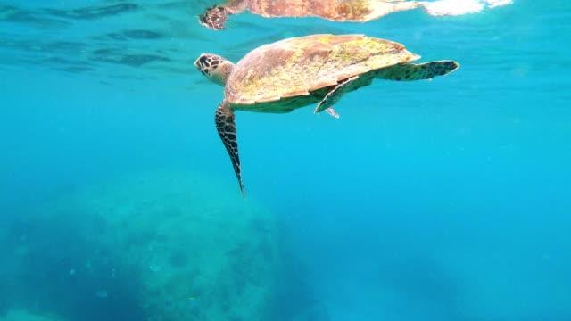 hawksbill sea turtle swimming in the seychelles - echte karettschildkröte stock-videos und b-roll-filmmaterial