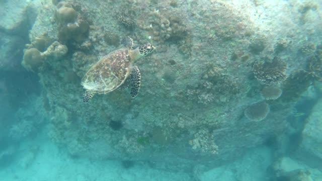 hawksbill sea turtle swimming in the seychelles - hawksbill turtle stock videos & royalty-free footage