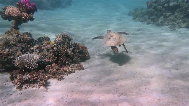 vídeos de stock, filmes e b-roll de a tartaruga de mar de hawksbill nada natação no recife coral - mar vermelho - marsa alam - egipto - fundo do mar
