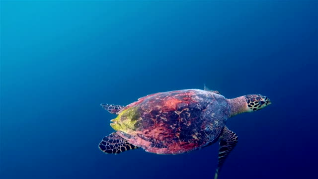 Hawksbill sea turtle swimming on deep blue