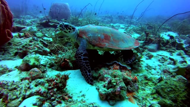 hawksbill sea turtle swimming over hard and soft coral reef - hawksbill turtle stock videos & royalty-free footage