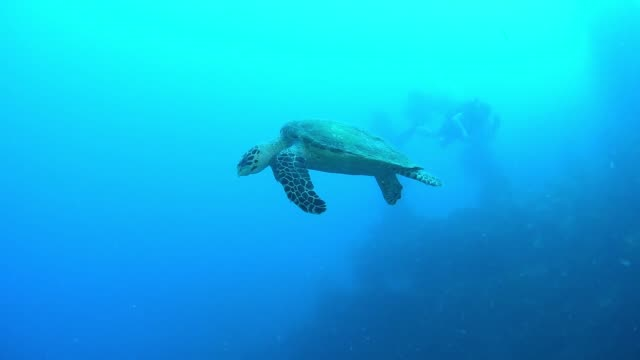 hawksbill trutle on shinkoku maru, underwater wrecks, truk lagoon, chuuk micronesia - 1944 stock videos & royalty-free footage
