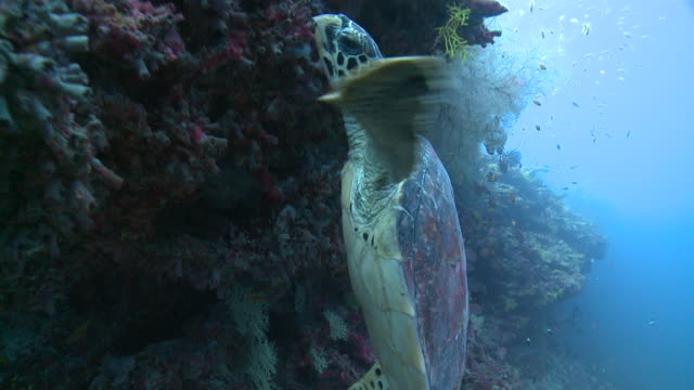 Hawksbill Turtle (Eretmochelys imbricata) at reef wall with schools of reef fishes, Baa Atoll, The Maldives