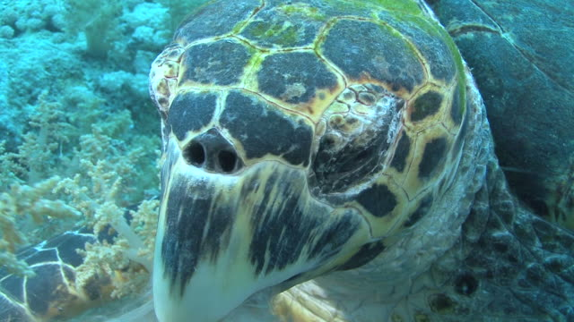 hawksbill turtle (eretmochelys imbriocota)bcu feeding, red sea, egypt - hawksbill turtle stock videos & royalty-free footage