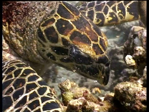 mcu hawksbill turtle biting pieces off coral reef, borneo - hawksbill turtle stock videos & royalty-free footage