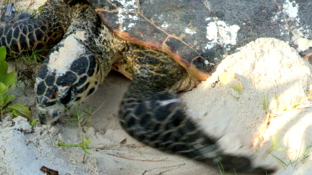 A Hawksbill turtle covers up her eggs with sand.