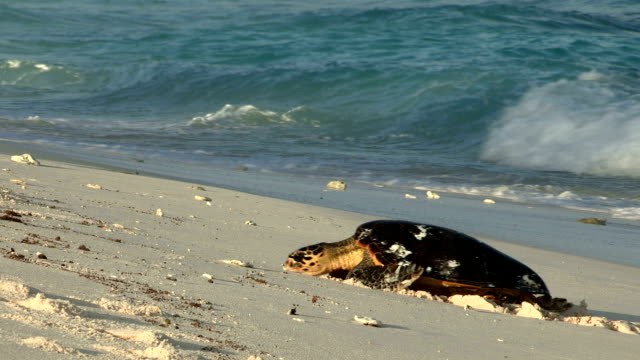 A hawksbill turtle crawls out of the ocean and onto the sand to nest.