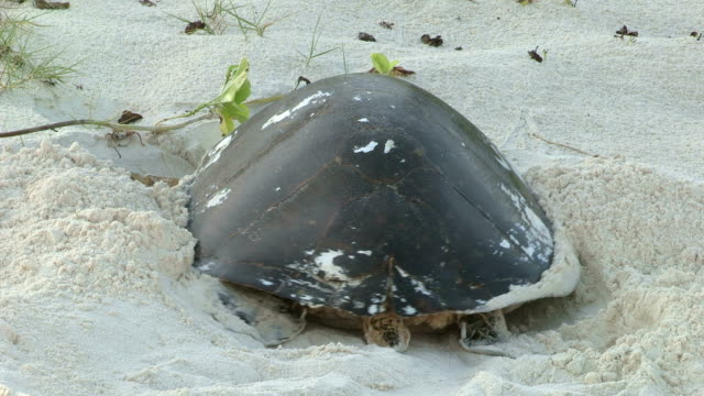 a hawksbill turtle digs a nest in the sand. - hawksbill turtle stock videos & royalty-free footage