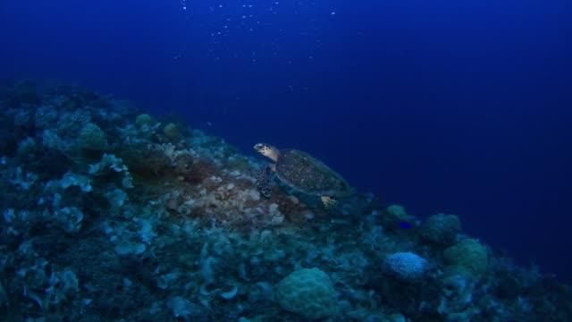 hawksbill turtle eating on yamagiri maru, underwater wrecks, truk lagoon, chuuk micronesia - dykarperspektiv bildbanksvideor och videomaterial från bakom kulisserna
