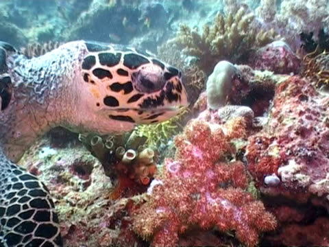 cu hawksbill turtle eating soft coral on reef, maldives, asia - soft coral stock videos & royalty-free footage