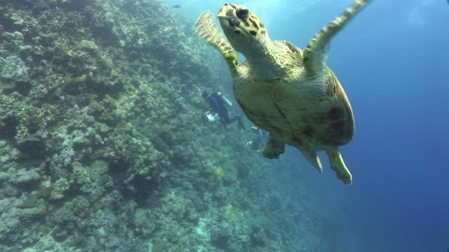 Hawksbill turtle (Eretmochelys imbricata). Endangered species. swims. Red Sea