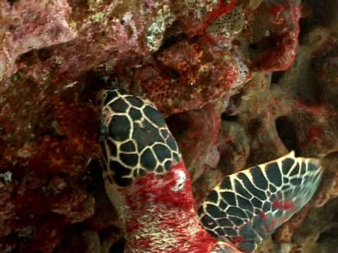 hawksbill turtle, eretmochelys imbricata, attempting to feed in current, ms, fernando de noronha, brazil - 大西洋諸島点の映像素材/bロール