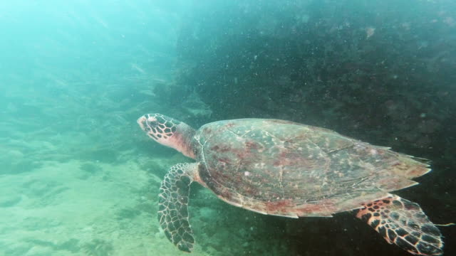 hawksbill turtle eretmochelys imbricata swimming on coral reef - animal shell stock videos & royalty-free footage