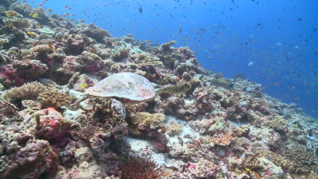 Hawksbill Turtle (Eretmochelys imbricata) feeding on coral reef wall, starts swimming away, schools of fishes in background, Vaavu Atoll, The Maldives