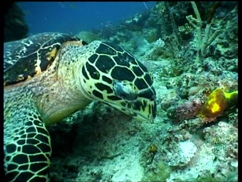 stockvideo's en b-roll-footage met cu hawksbill turtle feeding on reef, side view, sipadan, borneo, malaysia - vachtpatroon