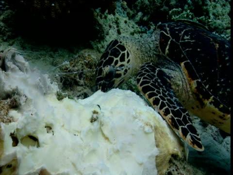hawksbill turtle feeding on seabed, sipadan - hawksbill turtle stock videos & royalty-free footage