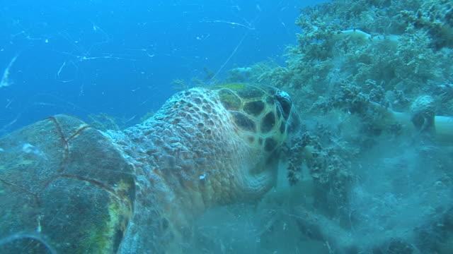 hawksbill turtle (eretmochelys imbriocota) cu feeding on soft coral, red sea, egypt - hawksbill turtle stock videos & royalty-free footage