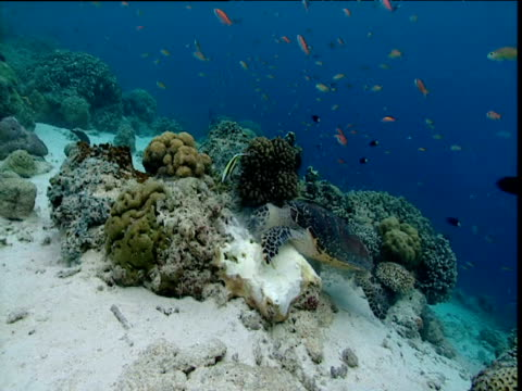 hawksbill turtle feeding on sponges amongst coral surrounded by fish, sipadan - apparato digerente animale video stock e b–roll