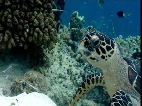 hawksbill turtle feeding, sipadan - hawksbill turtle stock videos & royalty-free footage