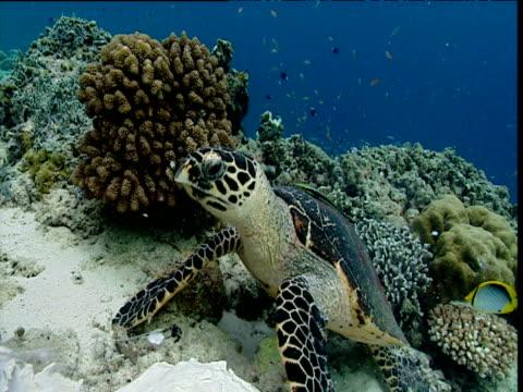 hawksbill turtle feeds on sponge amongst corals, sipadan - hawksbill turtle stock videos & royalty-free footage