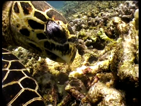 cu hawksbill turtle foraging on reef, moving rubble with beak and flippers, sipadan, borneo, malaysia - foraging stock videos & royalty-free footage