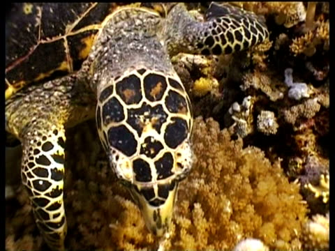 cu hawksbill turtle foraging on reef, pecking coral with beak, moves off and swims over reef, dappled sunlight, layang layang, malaysia - foraging stock videos & royalty-free footage