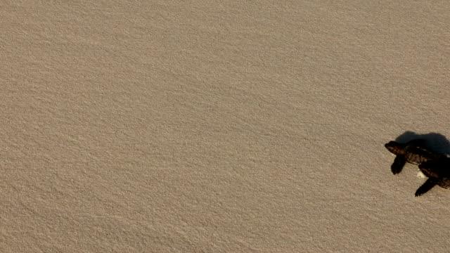 hawksbill turtle hatchlings scoot across a beach. - hawksbill turtle stock videos & royalty-free footage
