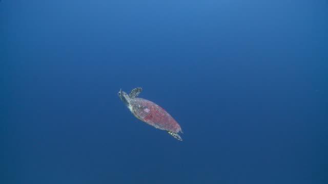 hawksbill turtle (eretmochelys imbricata) in blue ocean, the maldives - hawksbill turtle stock videos & royalty-free footage