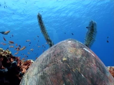 ms hawksbill turtle moving around on reef, various fish on reef, maldives, asia - 動物の色点の映像素材/bロール